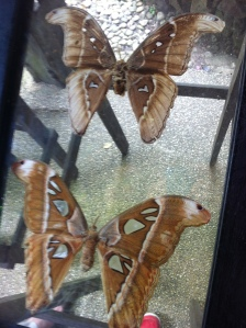Some of their pressed butterflies on the racks